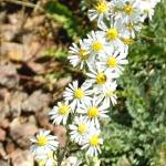 """Wild White Aster - Arizona Wildflower"" by rayjacque"