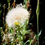 """Yellow Salsify - Arizona Wildflower"" by rayjacque"