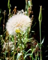 Yellow Salsify - Arizona Wildflower
