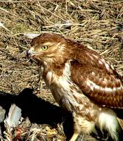 Hawk with Prey 11