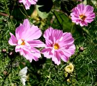 Beautiful Delicate Cosmos