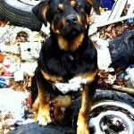 """DOG_Junkyard Dog"" by barbsummering"