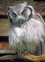 scops owl bird framed