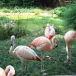 """Chilean Flamingos"" by PatricksPalette"