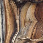 """Bristle cone pine"" by nielsbreve"