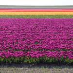 """""""bollenvelden (tulip fields)"""" by nielsbreve"""
