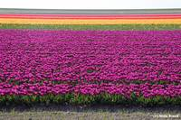bollenvelden (tulip fields)