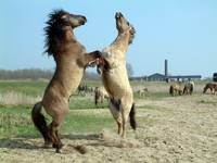 Horse play or dancing?