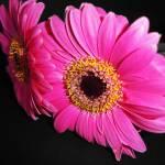"""""""Twice as Pink"""" by rocketrobbie"""