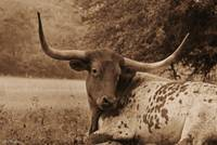 Longhorn at Rest