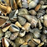 """Seashell Medley"" by CSlanecPhoto"