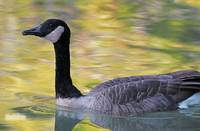 Canada Goose on Autumn Lake