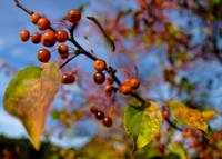 Autum Berries