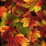 """Painted Leaves"" by vincent-field_photography"