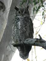 New years eve Great Horned Owl