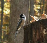 lunchtime for the chickadee