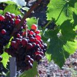 """vineyard grapes in the sunshine"" by kreinke"