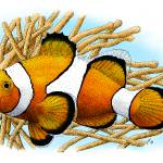 """Common Clownfish"" by inkart"