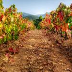 """Colorful autumn vineyard - Provence"" by frenchlandscapes"