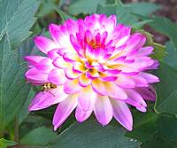 Crazy Love Dahlia II