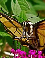 Eastern Tiger Swallowtail Butterfly I