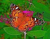American Painted Lady Butterfly II