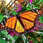 """Monarch Butterfly I"" by trevortrent"