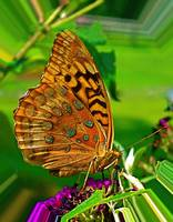 Great Spangled Fritillary Butterfly I