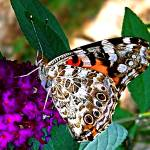 """American Painted Lady Butterfly I"" by trevortrent"
