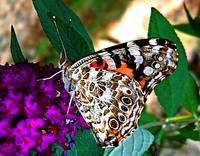 American Painted Lady Butterfly I
