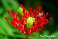 RED FLOWER BEE IN GUADELOUPE