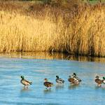 """""""ducks on ice"""" by shortwork"""