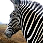 """Zebra"" by grapevinephotography"