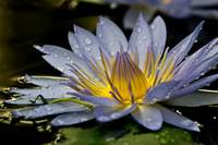 Waterlily...