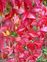 Red leaves, Oslo