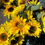 """Bunch of sunflowers"" by kreinke"