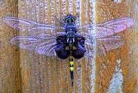 Humongous Dragonfly