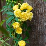 """YELLOW ROSES ON WOOD"" by Shot12"