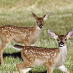 """Two Black Tail Deer Fawns - 1744"" by BartElder"
