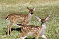 Two Black Tail Deer Fawns - 1744