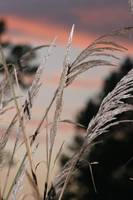 Grasses Against the Sunrise.JPG