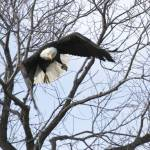 """Bald Eagle flying at camera - 3485"" by BartElder"