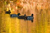 Ducks in Reflections of Fall