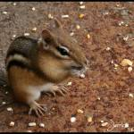 """Chipmunk at Bowring Park"" by JerricaJoy"