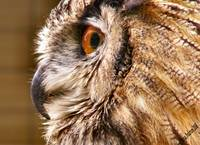 Owl Beak and Eye