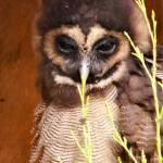 """Asian Brown Owl"" by JennieAnderson"