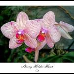 """Orchid 001.jpg"" by SherryHolderHunt"