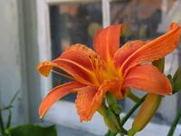 Day Lilly by window
