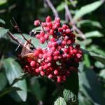 """""""Elderberry"""" by fejesb"""