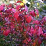 """""""Red bush"""" by fejesb"""